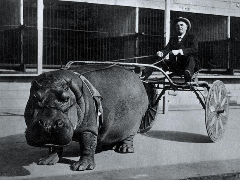 Un hippopotame tire une carriole.