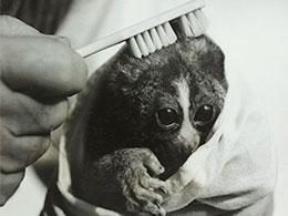 Un petit loris caressé avec une brosse à dents.